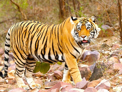 SAME DAY JAIPUR – RANTHAMBORE TOUR