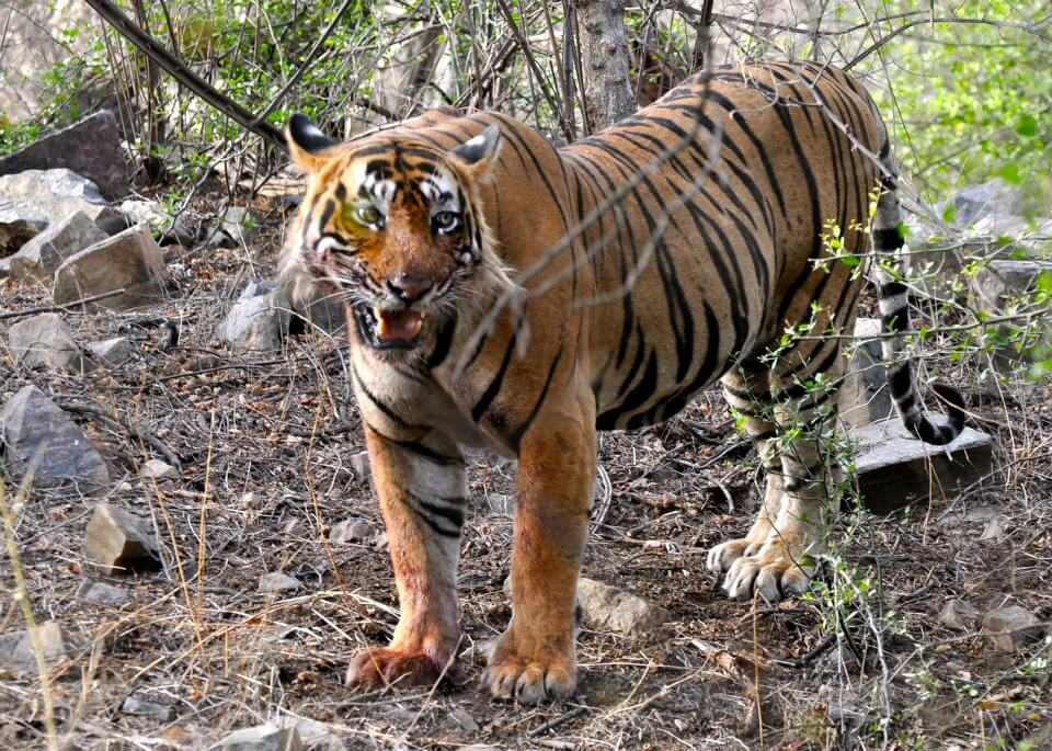 T24 Tiger in Ranthambore National Park