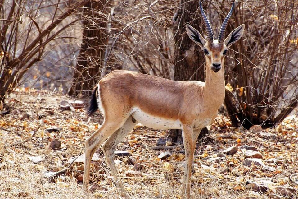 Chinkara at Ranthambore National Park