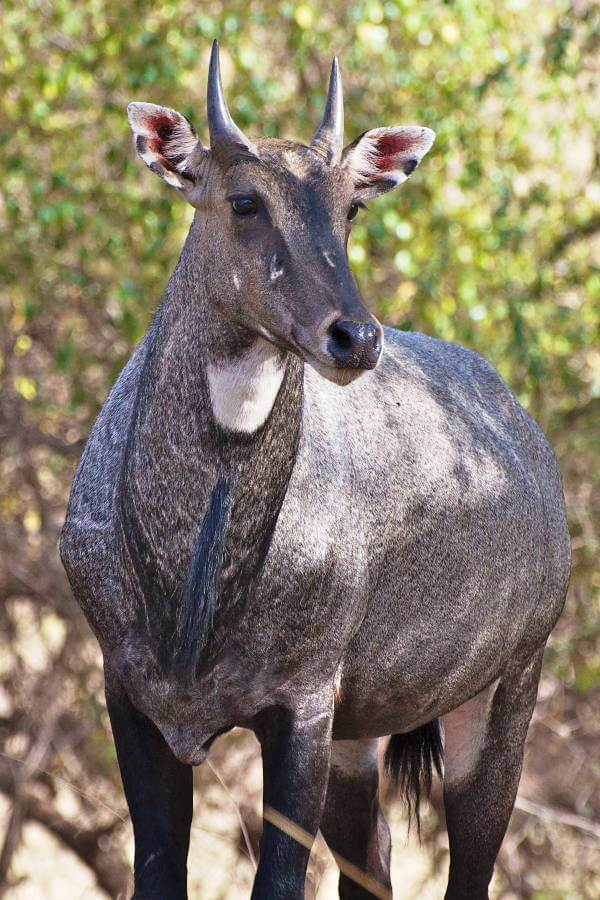 Nilgai at Ranthambore Wildlife Sanctuary